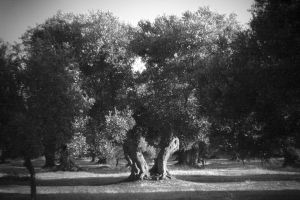 Split Olive Tree